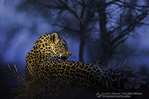Leopard, blue hour, South Africa