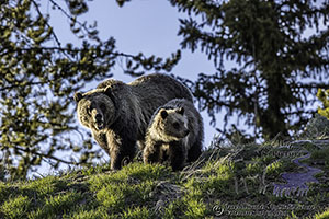 Mother grizzly and Yearling cub, Jackson Hole, Wyoming