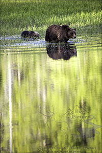 Grizzly mom and cub, casting reflection in pond while swimming