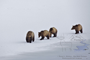 Four grizzly bears, Grand Teton National Park, grizzly 610