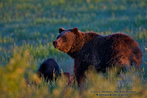 Glowing, grizzly bear, Grand Teton National Park
