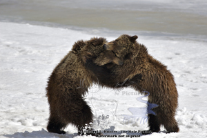 Wrestling, grizzly, bear, cubs, grand teton national park, Jackson hole, wyomiing,