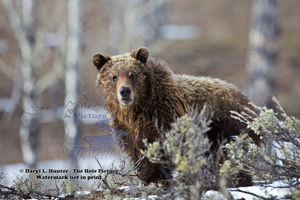 Grizzly Bear Portrait, Fine Art Print