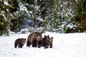Momma grizzly, three cubs, grizzly sow, grand teton national park, spring snow