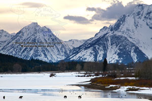 Four grizzly bears, on thin ice, oxbow bend, grand teton national Park