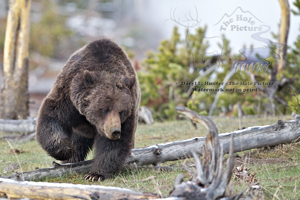 Big grizzly boar, mud volcano, Yellowstone National park,