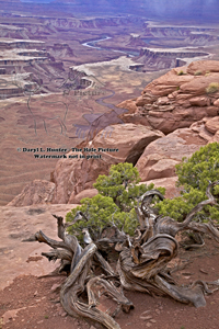 Twisted tree, Green River Overlook, Canyonlands National Park, pinon pine, cedar tree, sandstone, red rocks, canyon, green river, desert, southwest landscape