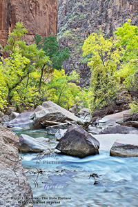 Virgin River, golden cottonwood, fall colros, canyon, cliffs, Zion National Park, Springdale, Utah,