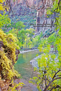 Virgin River, Zion National Park, zion canyon, fall color, red cliffs, green water, springdale, utah, desert, southwest Landscape