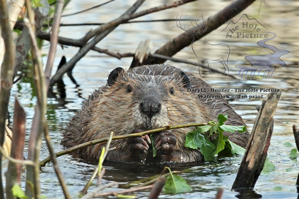 Hungry Beaver, Fine Art Print