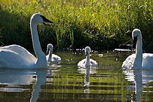 Trumpeter swan family, cignets, Jackson Hole, Wyoming