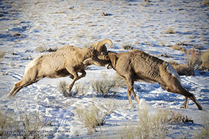 Collision, Fighting Rams, Jackson Hole, Wyoming