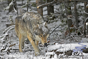 Wolf photo collection, fine art prints
