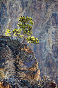 Lone pine, growing out of a rock, crack, Grand Canyon of the yellowstone River, backlight, steep canyon, survival, tough, resolute, survival of the fittest