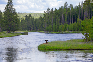 Elk enyoying madison river, Yellowstone National Park, wildlife, river bend, looking at view, peaceful, tranquility
