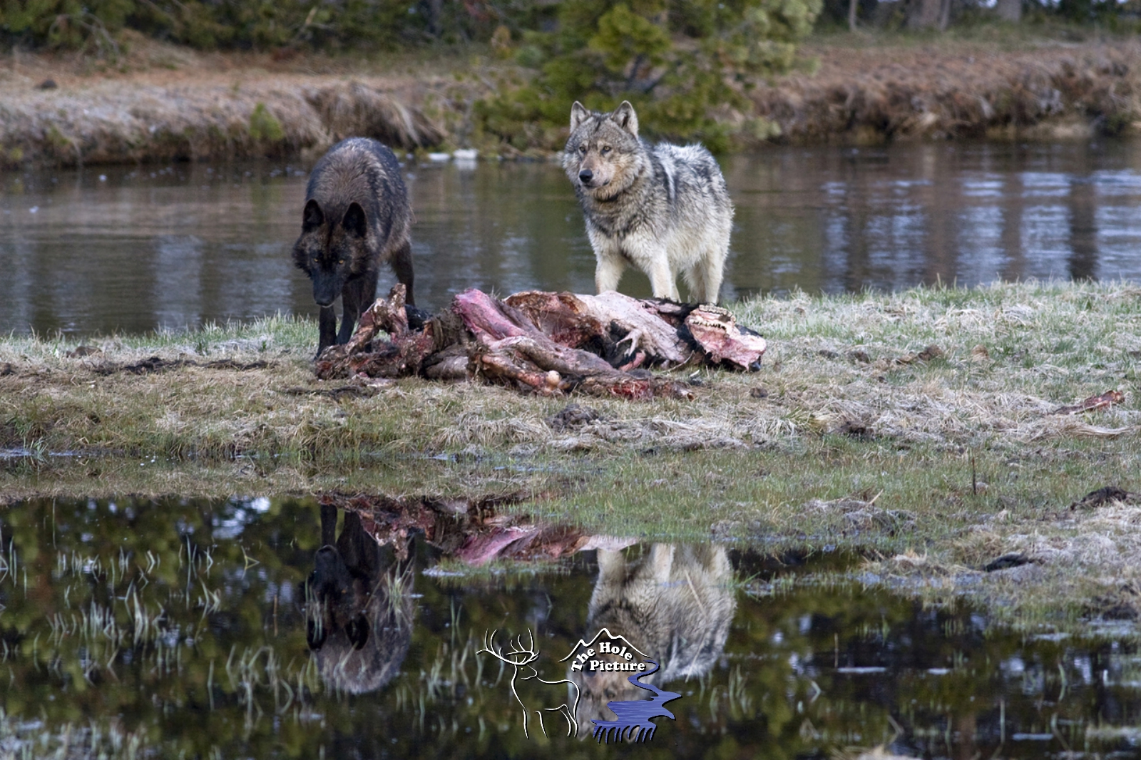 Two Wolves Reflection